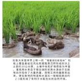 响水石板大米【鸭稻米】